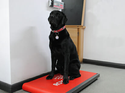 Black Labrador on scales